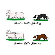 Herding Border Collies
