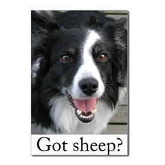 Border Collie Got Sheep