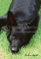 Black German Shepherd Dog