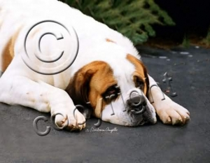 Saint Bernard Smooth Coat Mouse Pad